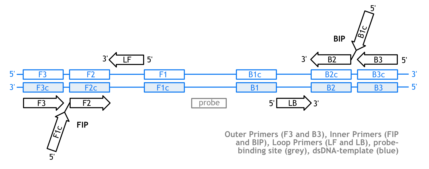 Figure 3. Standard Arrangement of Primers (and probe) for LAMP