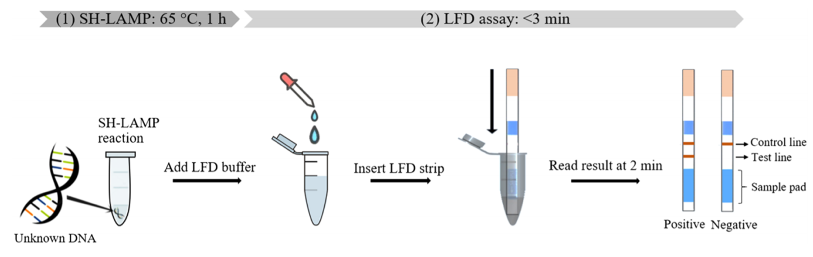 Figure 6. Workflow of LAMP-LFA using inLAMP-Hybridization