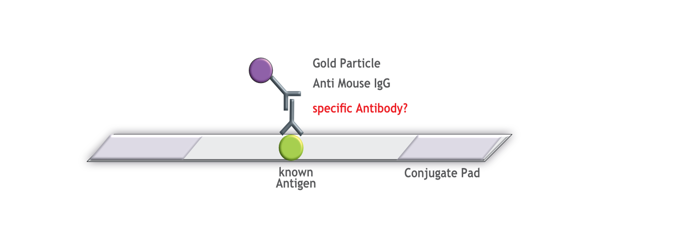 Rapid Antibody Detection Test on ProteinDetect dipstick