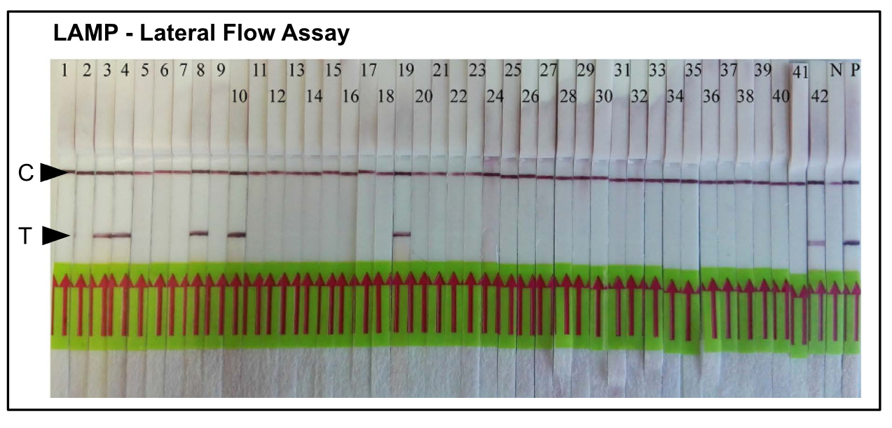 LAMP Lateral Flow Assay - Detection of Root-Knot Nematode