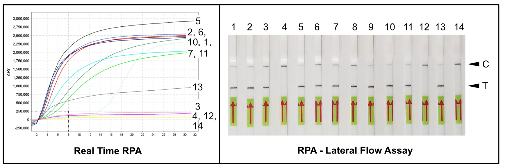 RPA-Lateral Flow Assay - Detection of plant pathogen M. hapla