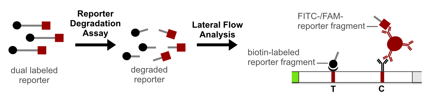 Reporter Degradation Lateral Flow Strategy