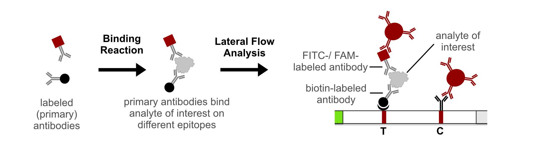 non-competetive Sandwich Lateral Flow Immunoassay