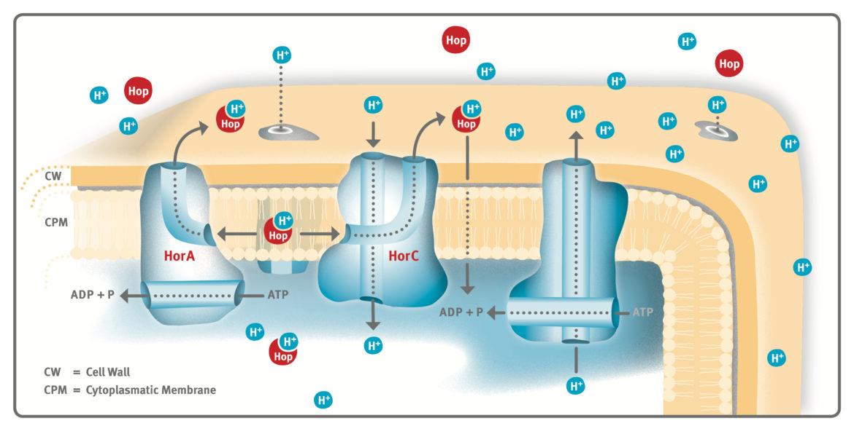 HorA- and HorC- mediated Hop Resistance Mechanisms