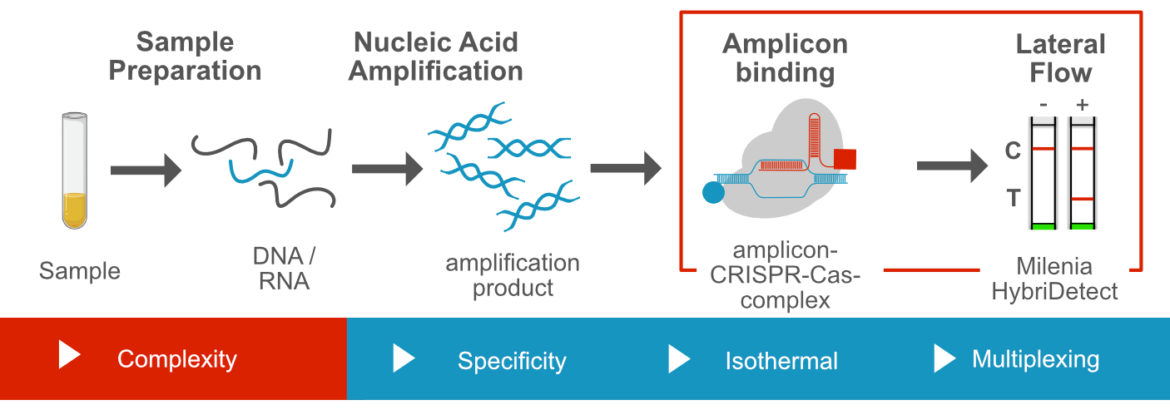 CRISPR dependent nucleic acid detection via lateral flow using specific amplicon binding