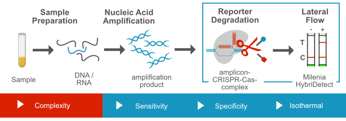 CRISPR dependent nucleic acid detection via lateral flow using collateral nuclease activity
