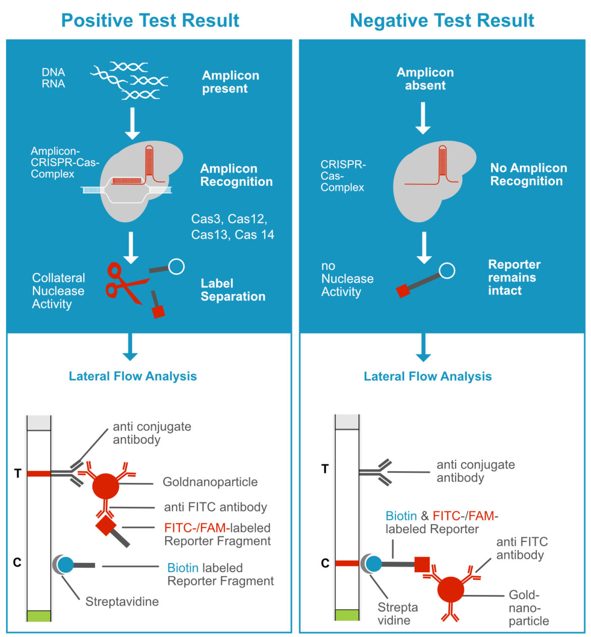 Detection Principle of CRISPR-Cas dependent Assay using the Label Incorporation Strategy