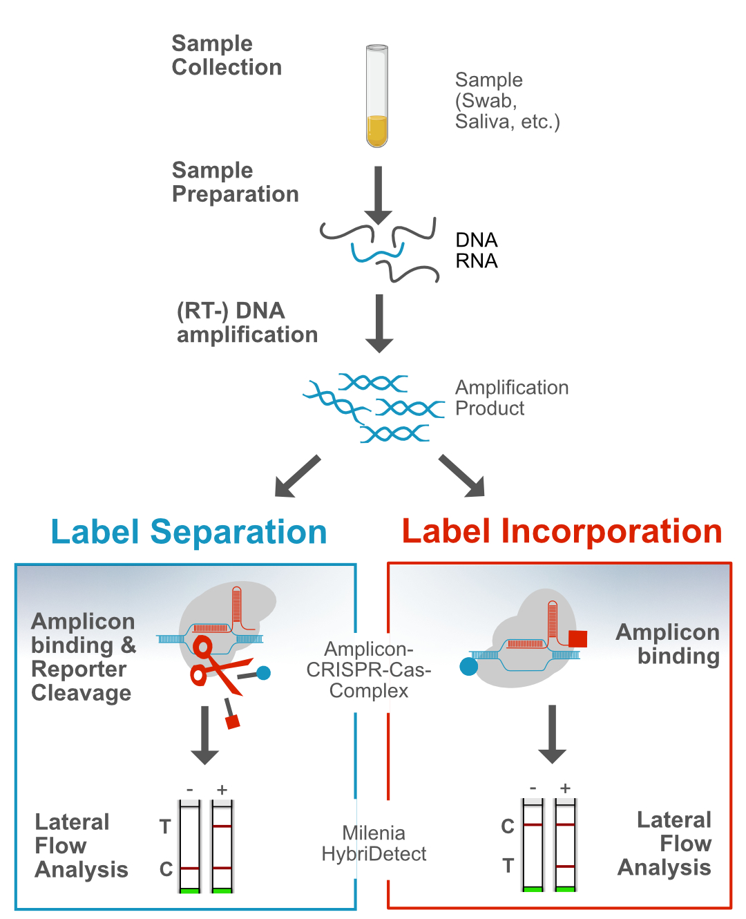 CRISPR-Cas and Lateral Flow: Workflow and 2 general detection strategies