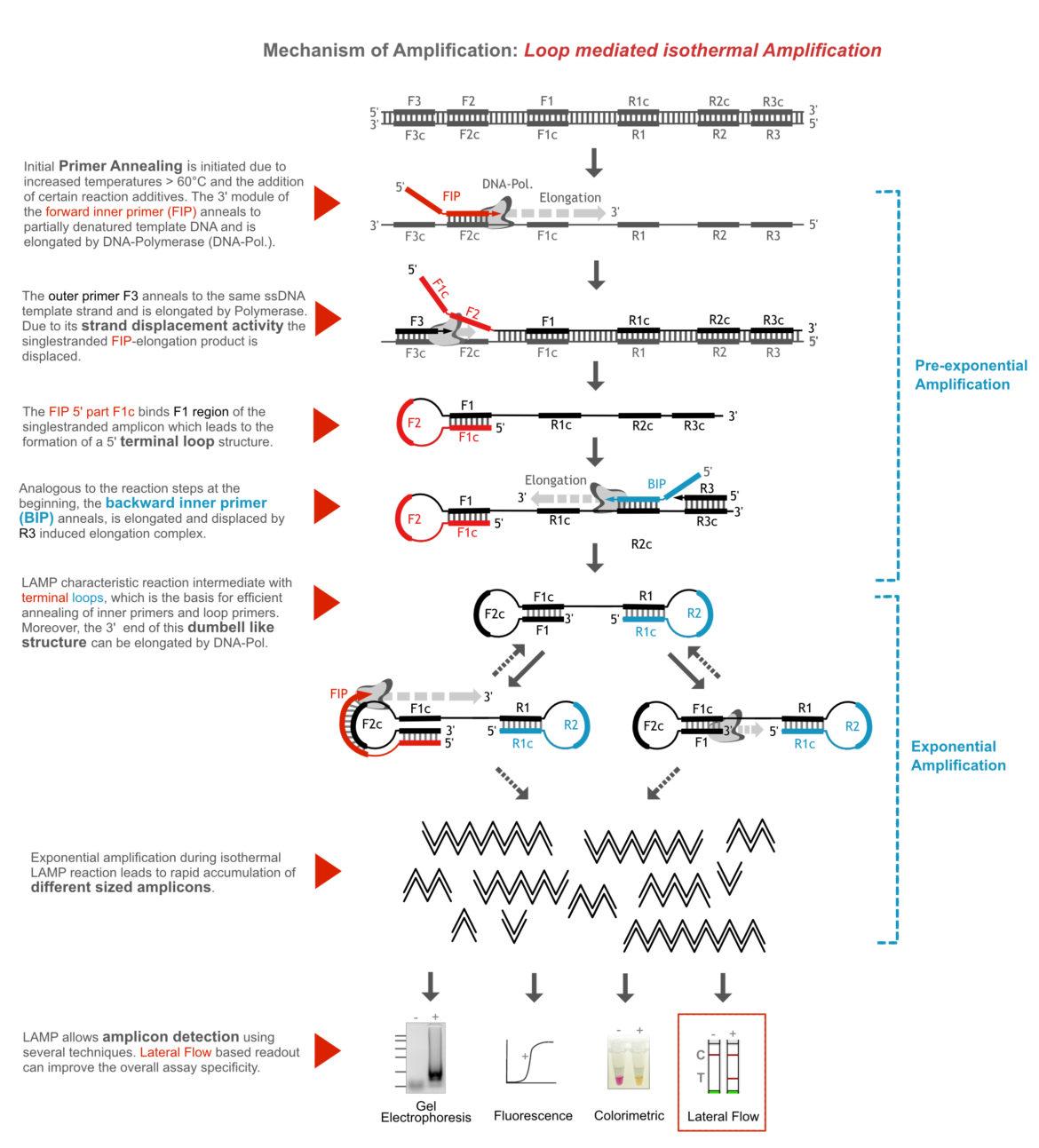General Amplification Mechanism_Loop mediated isothermal Amplification