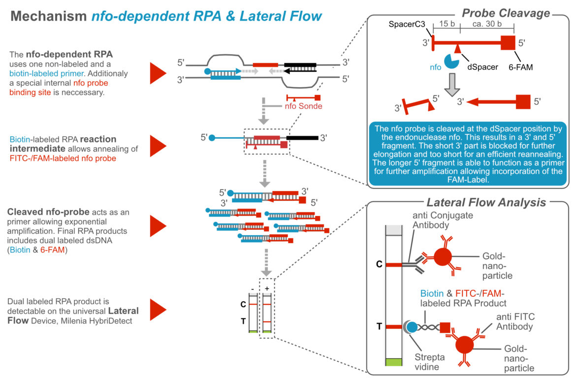 Recombinase Polymerase Amplification - nfo dependent mechanism