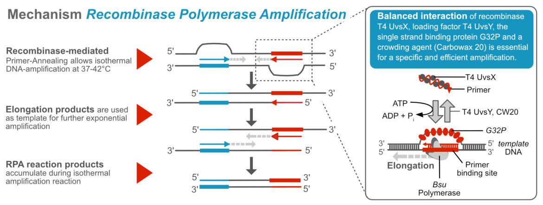 General Mechanism - Recombinase Polymerase Amplification